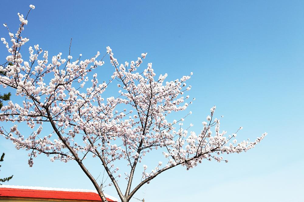 벚꽃001