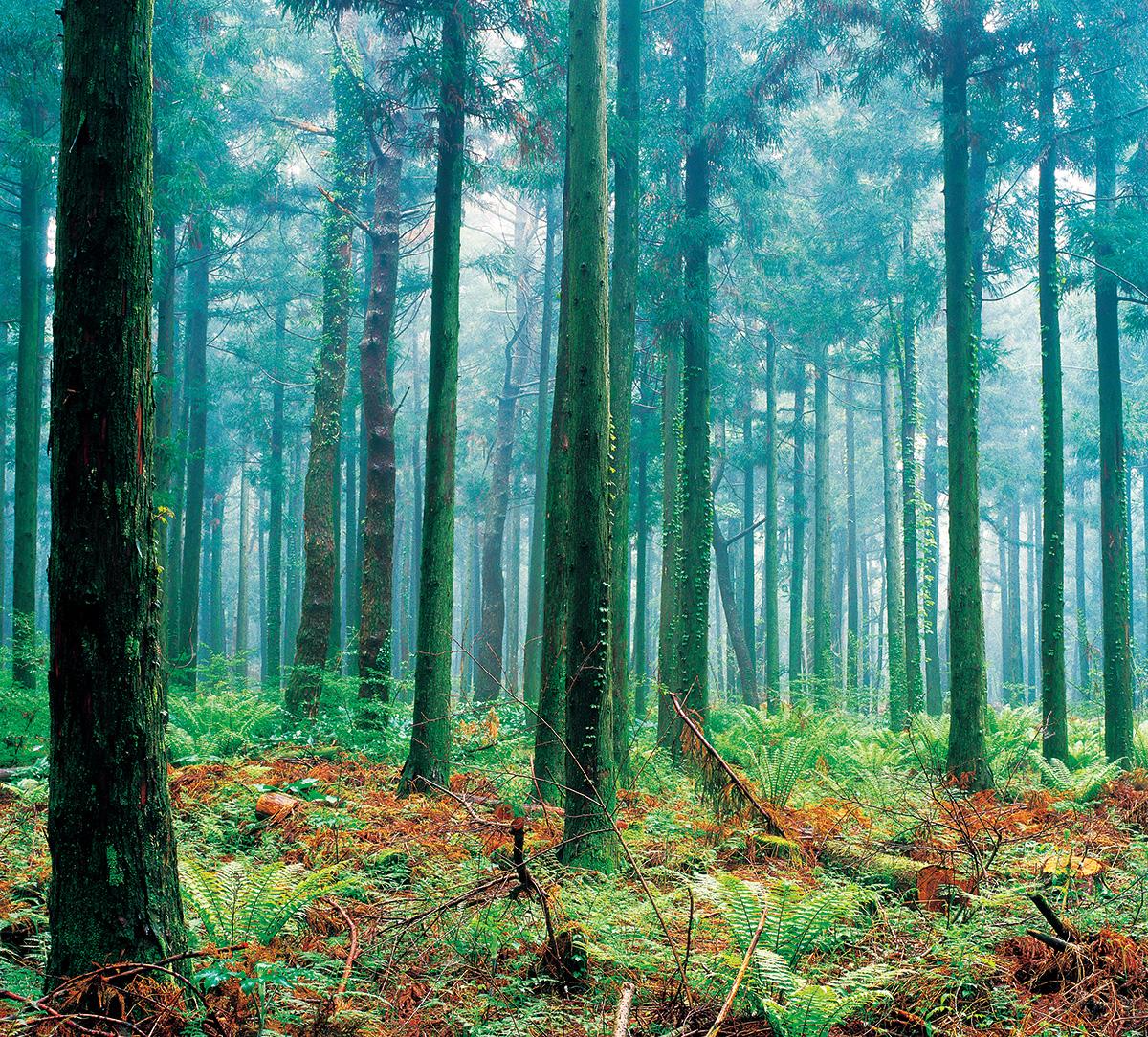 삼나무길숲(08)안개01